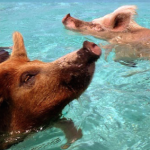 HUMANS… Come Swim With These Pigs On Their Secret Island – NOW!